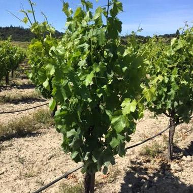 Ryan's Vineyard